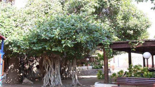 arbol higos en israel