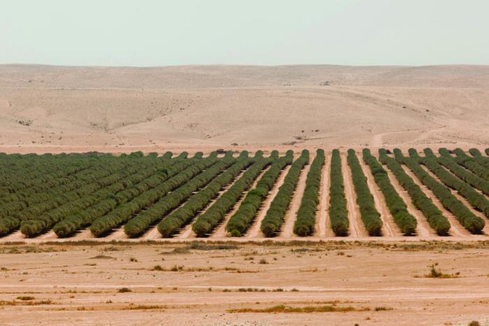israel tomates en el desierto 3